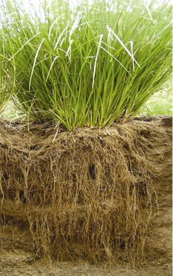 Vetiver Roots2